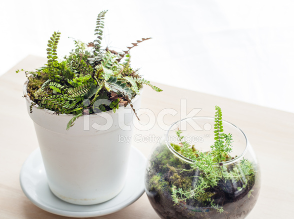 pot and glass terrarium with fern plants stock photos. Black Bedroom Furniture Sets. Home Design Ideas