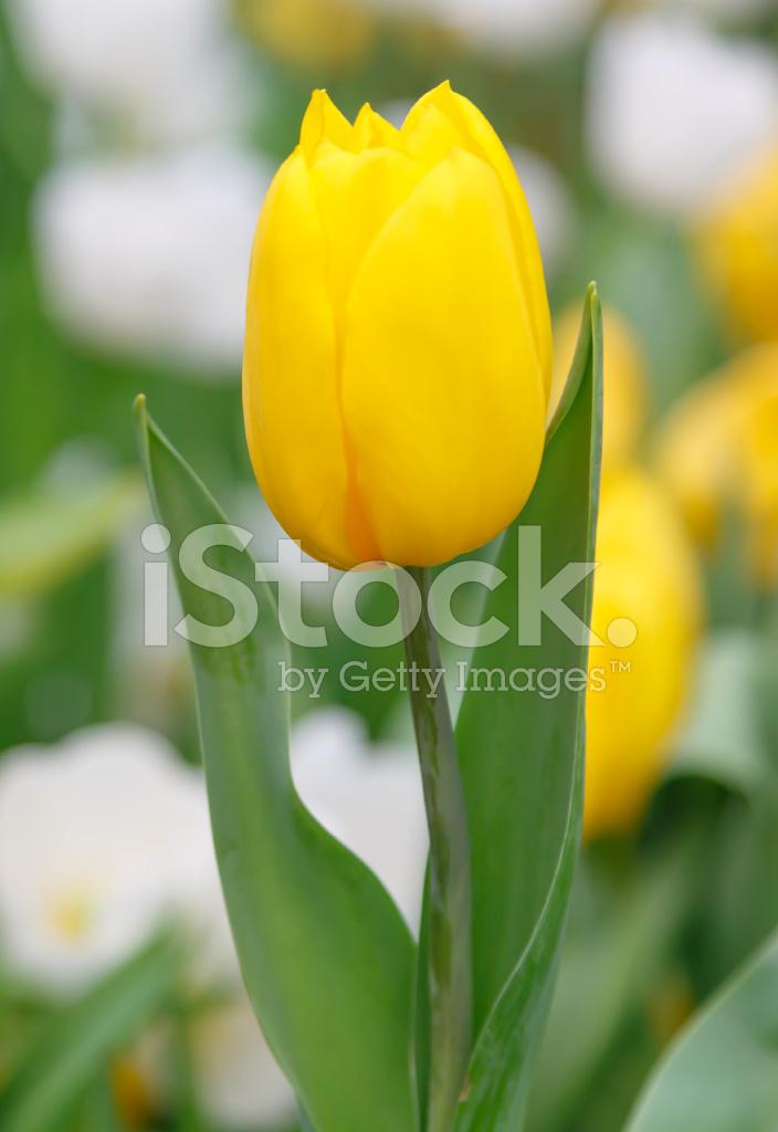 flor hermosa tulipán en jardín fotografías de stock freeimages com