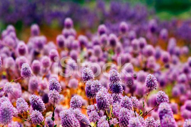 Floral background of violet pink flowers australian spring l stock floral background of violet pink flowers australian spring l mightylinksfo