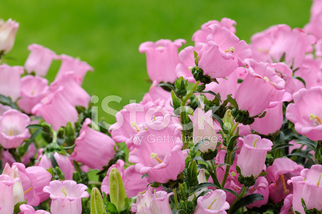 Pink bell flowers stock photos freeimages pink bell flowers mightylinksfo