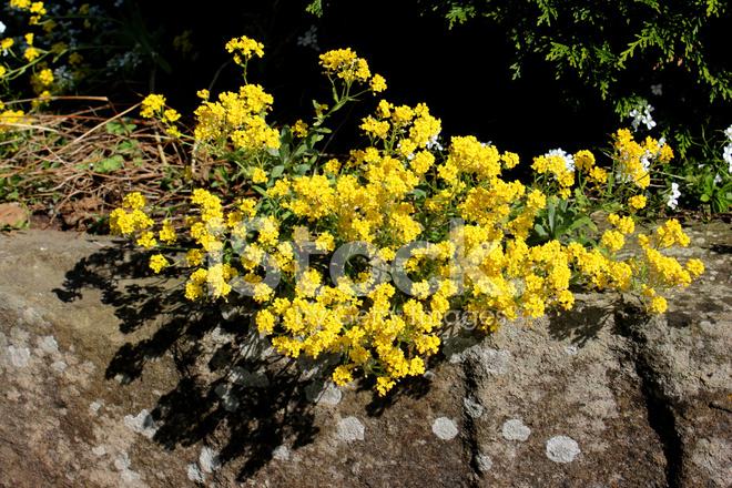 Image DE Fleurs Alysse Jaune, Plante Poussant Dans Le Jardin DE ...