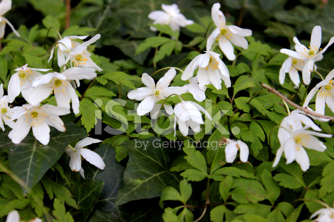 Close up image of white flowers of wild woodland anemones stock close up image of white flowers of wild woodland anemones mightylinksfo