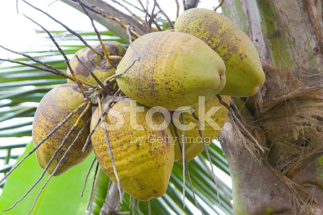 Noix de coco sur un palmier photos - Palmier noix de coco ...