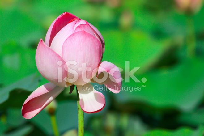 fleur de lotus rose magnifique sur fond de l'eau photos