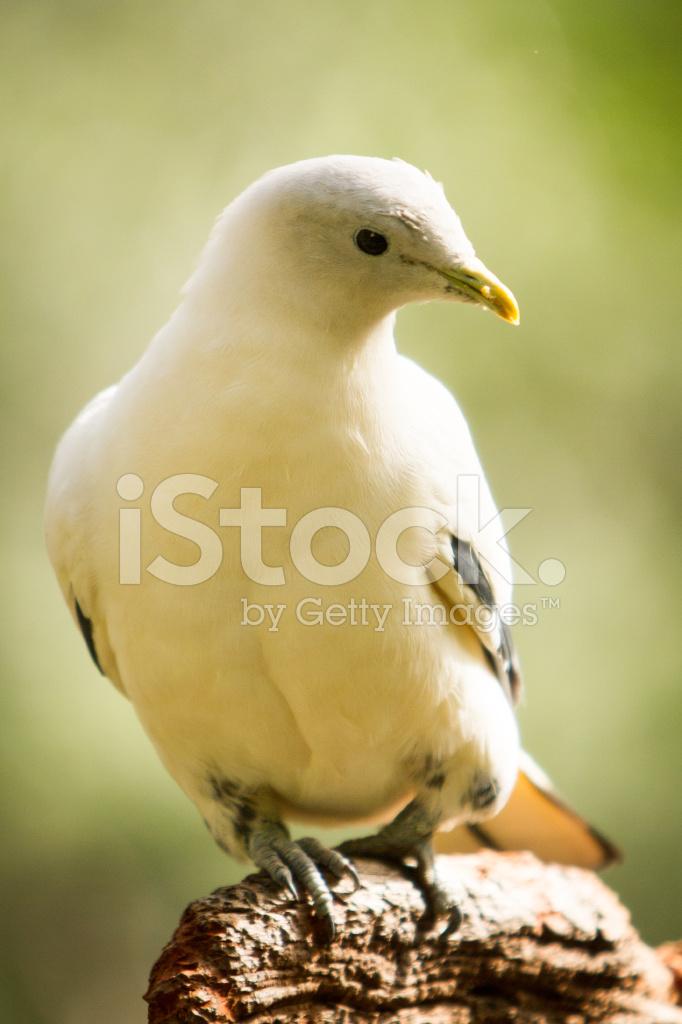 Плодоядные голуби
