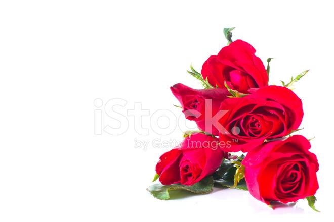 Rosa Rossa Su Sfondo Bianco Fotografie Stock Freeimagescom