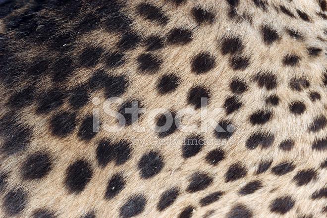 Cheetah Fur Close Up Cheetah Fur, Cl...