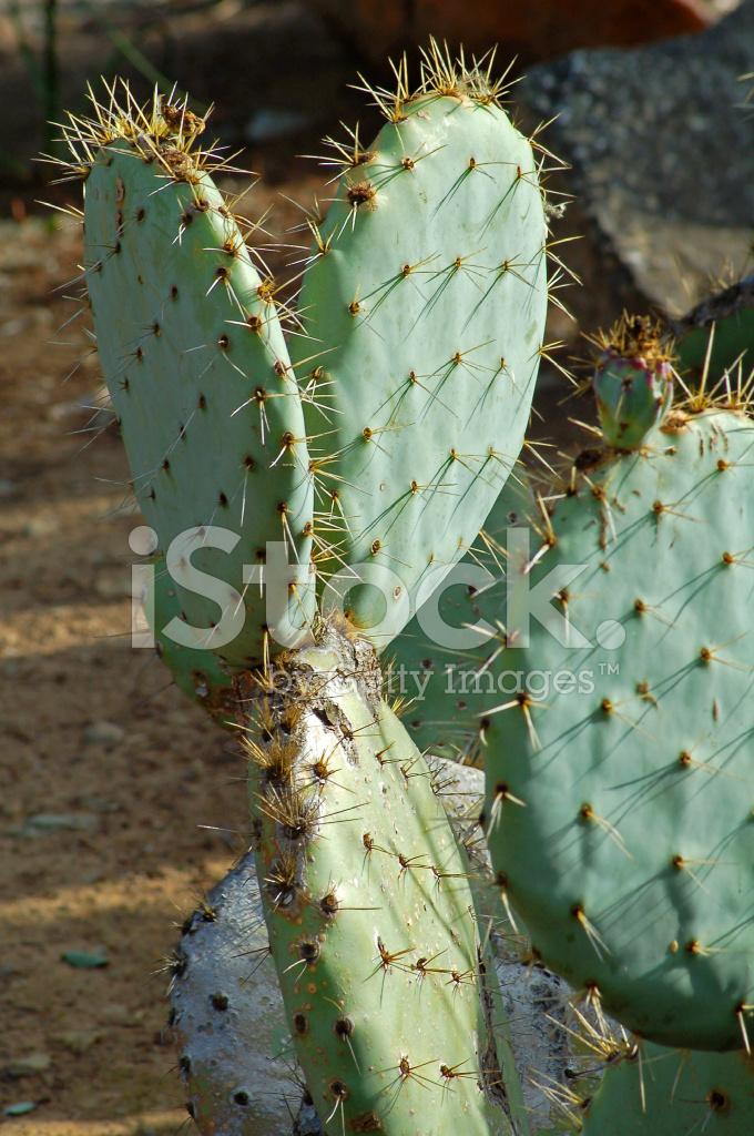 Kaktus Gesundheit trinken