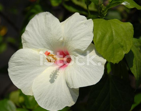 White Hibiscus Flower Stock Photos Freeimagescom