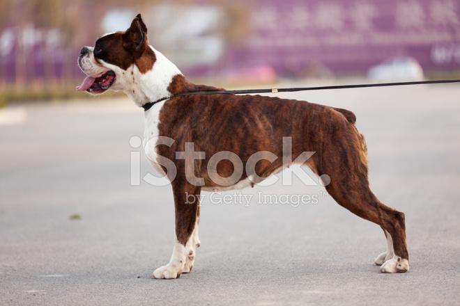 El Perro Boxer Fotografías De Stock Freeimagescom