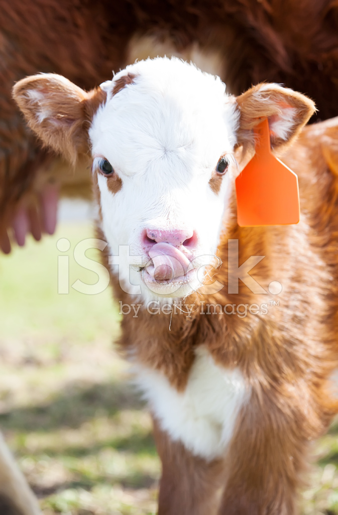 Hereford Calf With Tongue Out Stock Photos - FreeImages.com