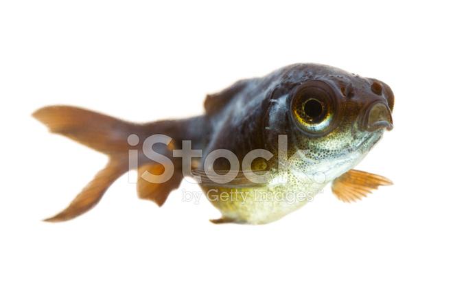 Goldfish white mold stock photos for White fungus on fish