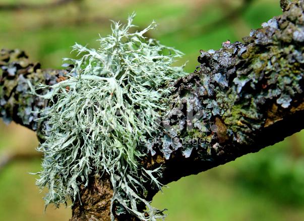 Image Gros Plan Des Plantes D Argent Lichen Poussant Sur