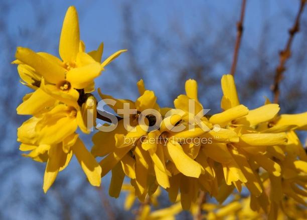 Yellow flowers of forsythia bush at spring stock photos freeimages premium stock photo of yellow flowers of forsythia bush at spring mightylinksfo