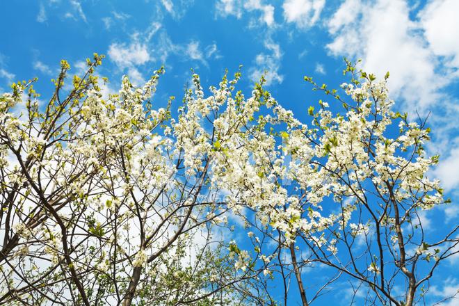 Weiß Blühende Kirsche Bäume AM Blauen Himmel Stockfotos - FreeImages.com