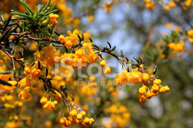 Image of yellow orange flowers on evergreen berberis stenophyl image of yellow orange flowers on evergreen berberis stenophyl mightylinksfo