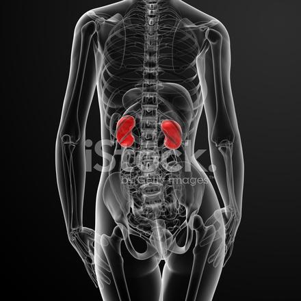 3d Render Riñón Hembra Anatomía Rayos X Fotografías de stock ...