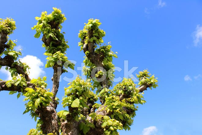 premium stock photo of pruned pollarded lime tree tilia europaea linden tree in sp