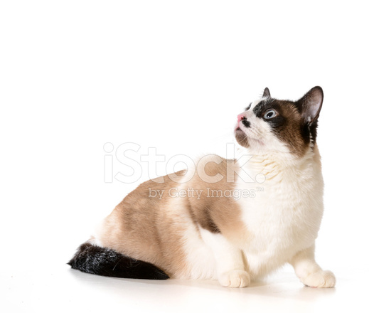 Ragdoll Kot Zdjęcia Ze Zbiorów Freeimagescom