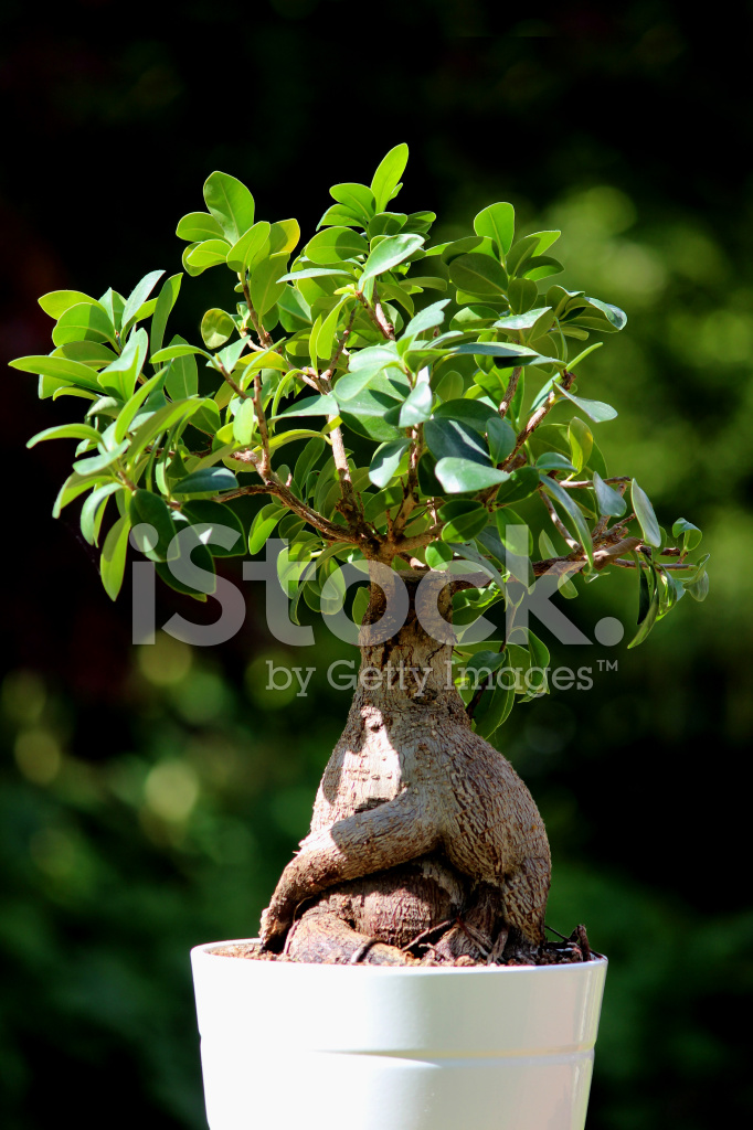 https://images.freeimages.com/images/premium/previews/4018/40185866-fig-bonsai-tree-plant-ficus-microcarpa-ginseng-white-flower-p.jpg