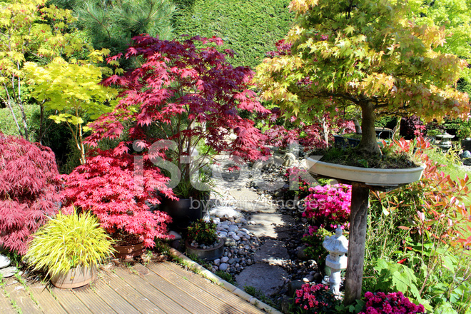 Image of japanese garden with bonsai trees maples acers for Japanese decking garden