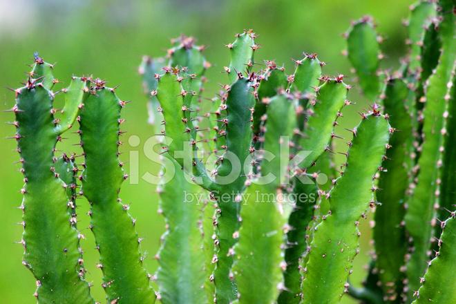 bild von cowboy kaktus pflanze mit dornen in w sten garten stockfotos. Black Bedroom Furniture Sets. Home Design Ideas