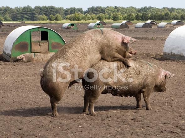 Accouplement Des Porcs Photos Freeimages Com