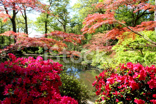 Aceri giapponesi acer palmatum azalee rododendri e for Aceri giapponesi