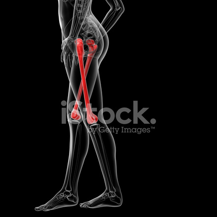 3d Gerenderten Abbildung Von Den Weiblichen Oberschenkel Knochen ...
