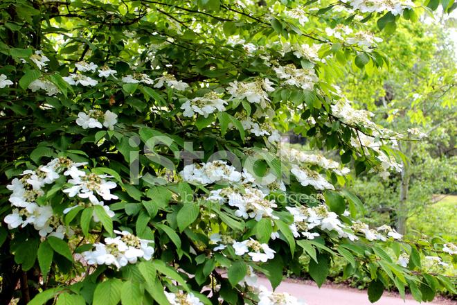 Struiken Met Bloemen Voor In De Tuin.Witte Planten Van Viburnum Bloemen Op Tuin Struik Plicatum