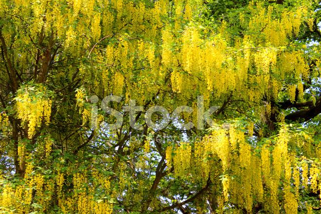 Fleurs De Cytise Jaune Vif A L Ima De Jardin Arbre De La Chaine D