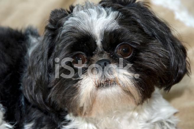 Dog Black And White Shi Tzu