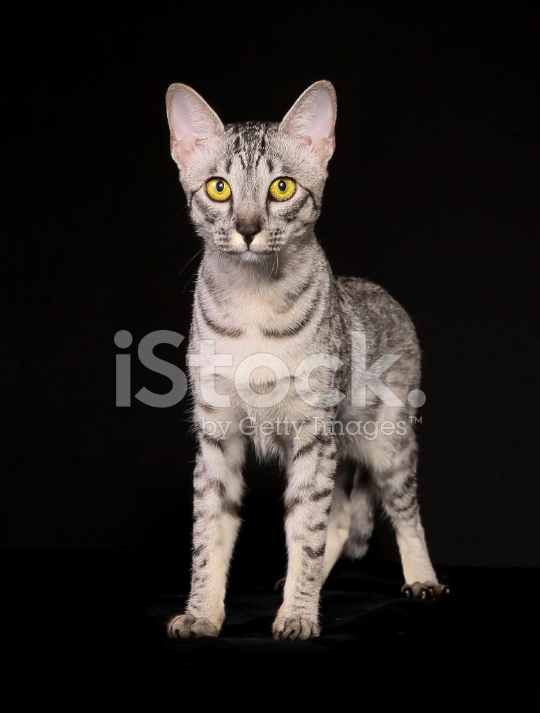 Rasowe Zwierzę Kot Zdjęcia Ze Zbiorów Freeimagescom