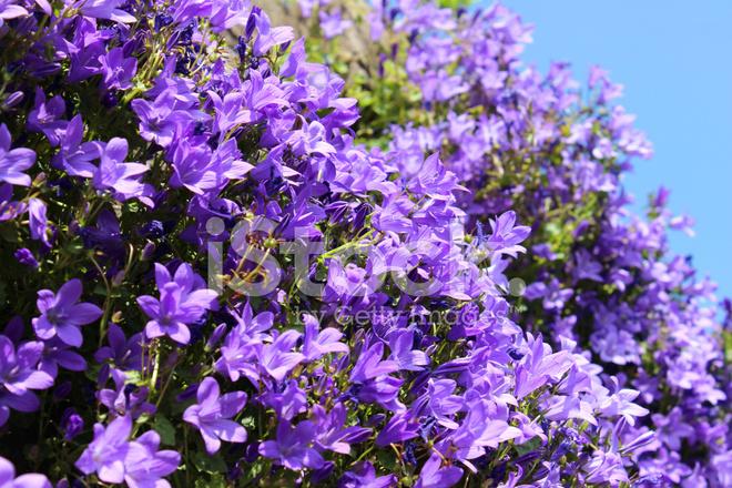 Fiori viola sulla harebell comune strisciante campanula for Pianta fiori viola