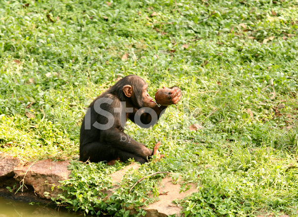 Baby Chimpanzee Drinking Stock Photos - FreeImages com