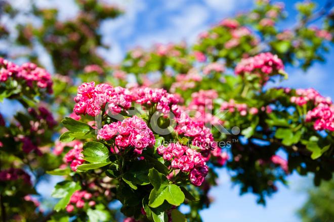 bloosoming rose des fleurs de l 39 arbre de l 39 aub pine photos. Black Bedroom Furniture Sets. Home Design Ideas
