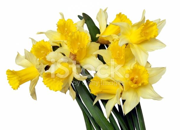 Narcisos Amarillos Fotografias De Stock Freeimagescom - Narcisos-amarillos