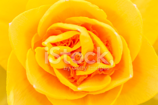 Single Yellow Rose Flower Detail Stock Photos Freeimages