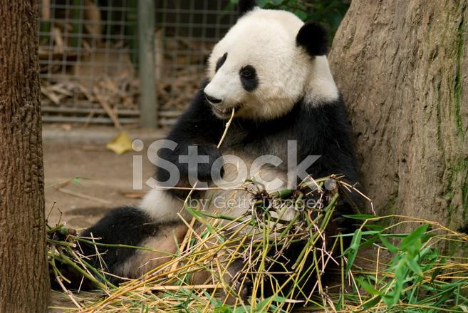 Panda Essen Bambus Stockfotos Freeimages Com