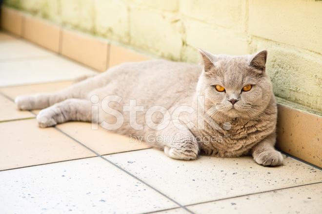 Kot Brytyjski Liliowy Zdjęcia Ze Zbiorów Freeimagescom
