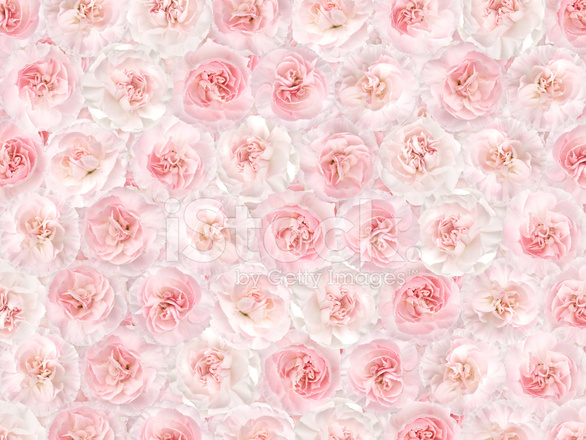 Flower Background from A Pink Carnation Stock Photos ...
