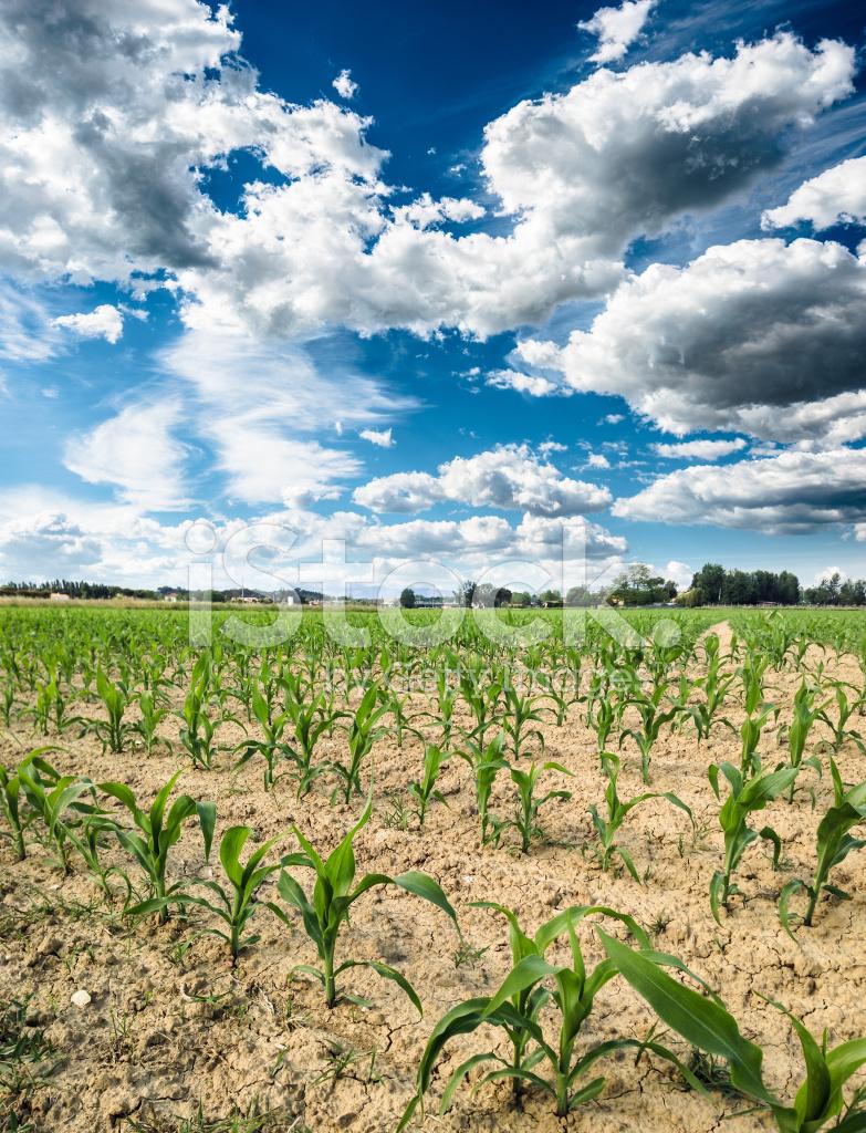 Как сажают кукурузу в поле 764
