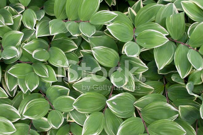 Sfondo Bianco E Verde Foglia Fotografie Stock Freeimagescom