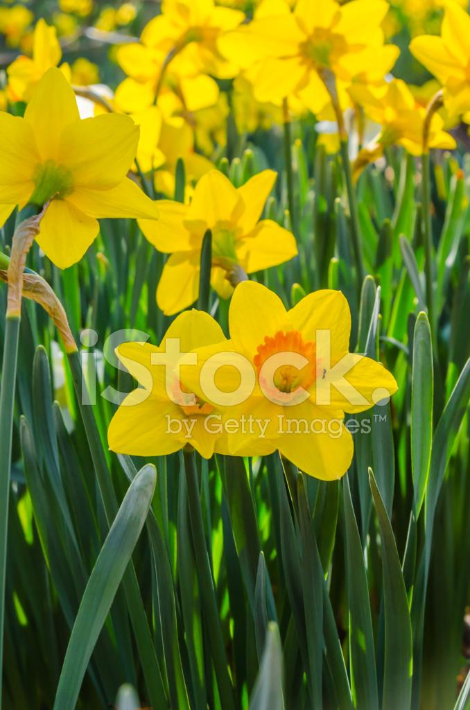 Narcisos Amarillos Y Naranjas Fotografias De Stock Freeimagescom - Narcisos-amarillos