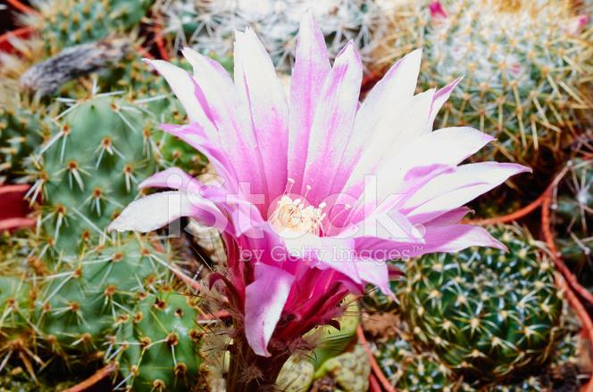Cactus Fleur Rose Avec Des Macro Pistil Et Les Etamines Photos
