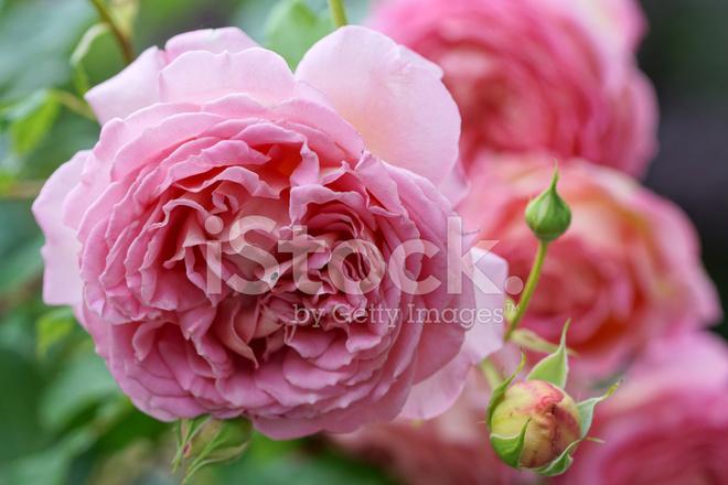 Fiori rosa inglese fotografie stock for Rosa inglese
