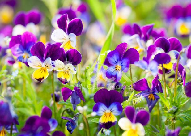 Sfondo Fiori Giardino Fioriture Viola Lilla Copiosamente Fotografie