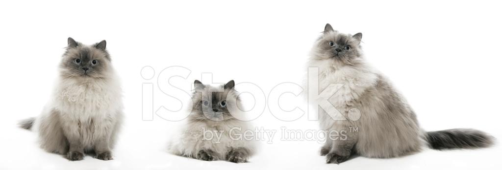 Benim Kedi Felix Stok Fotoğrafları Freeimagescom