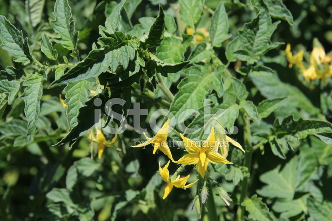 Flowering tomato plant yellow blossom in organic garden stock flowering tomato plant yellow blossom in organic garden mightylinksfo