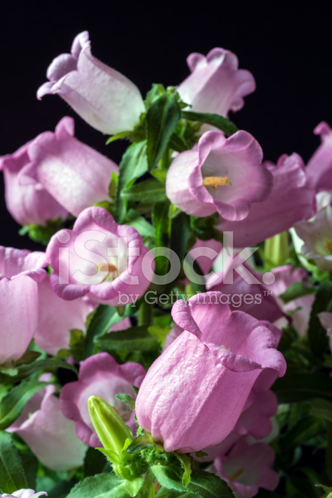 Pink Canterbury Bell Flower Stock Photos Freeimages